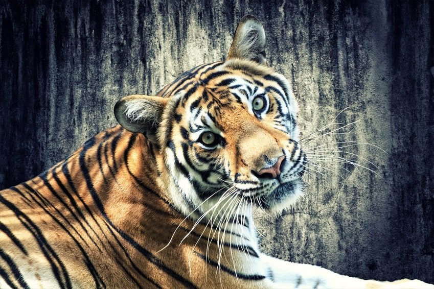 Tiger_liegend-min